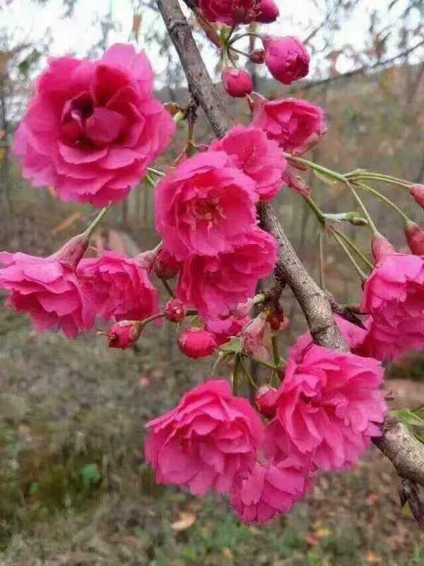 海棠价格表,樱花小苗价格,红枫苗木基地,海棠最新价格